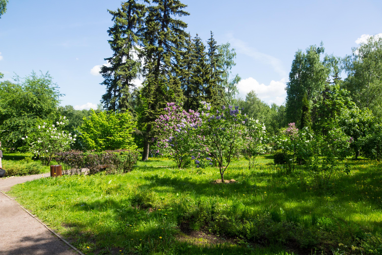 Lilac garden in Sokolniki