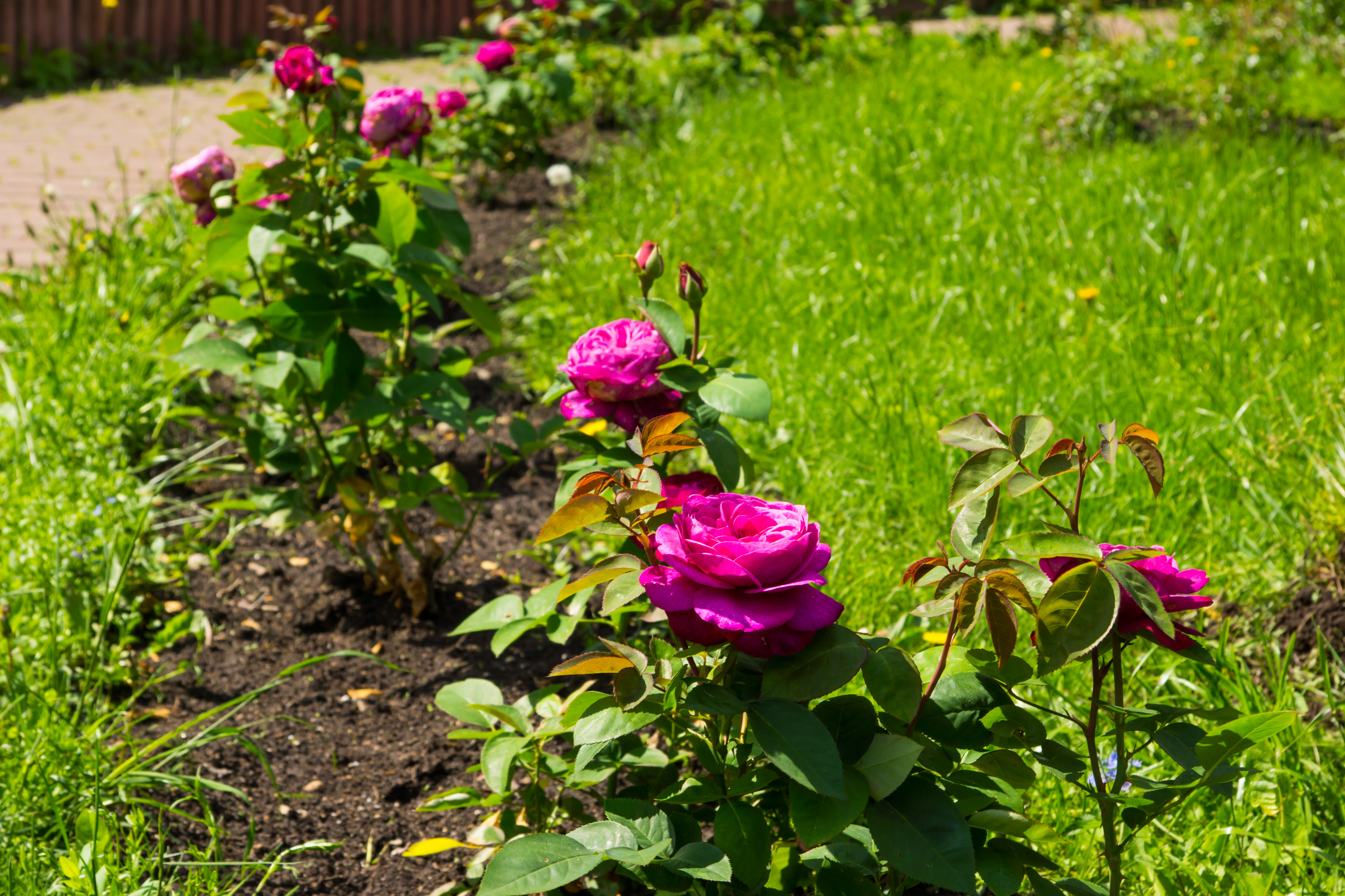 roses in a small rose garden