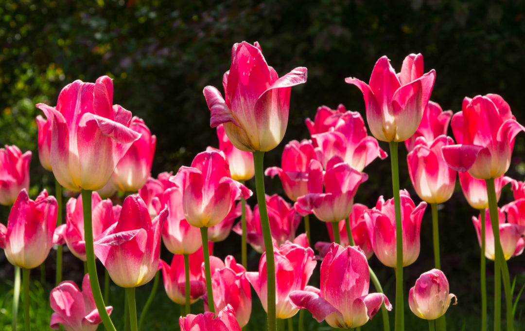 Photo of tulips in good quality