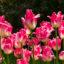Foto de tulipanes en buena calidad