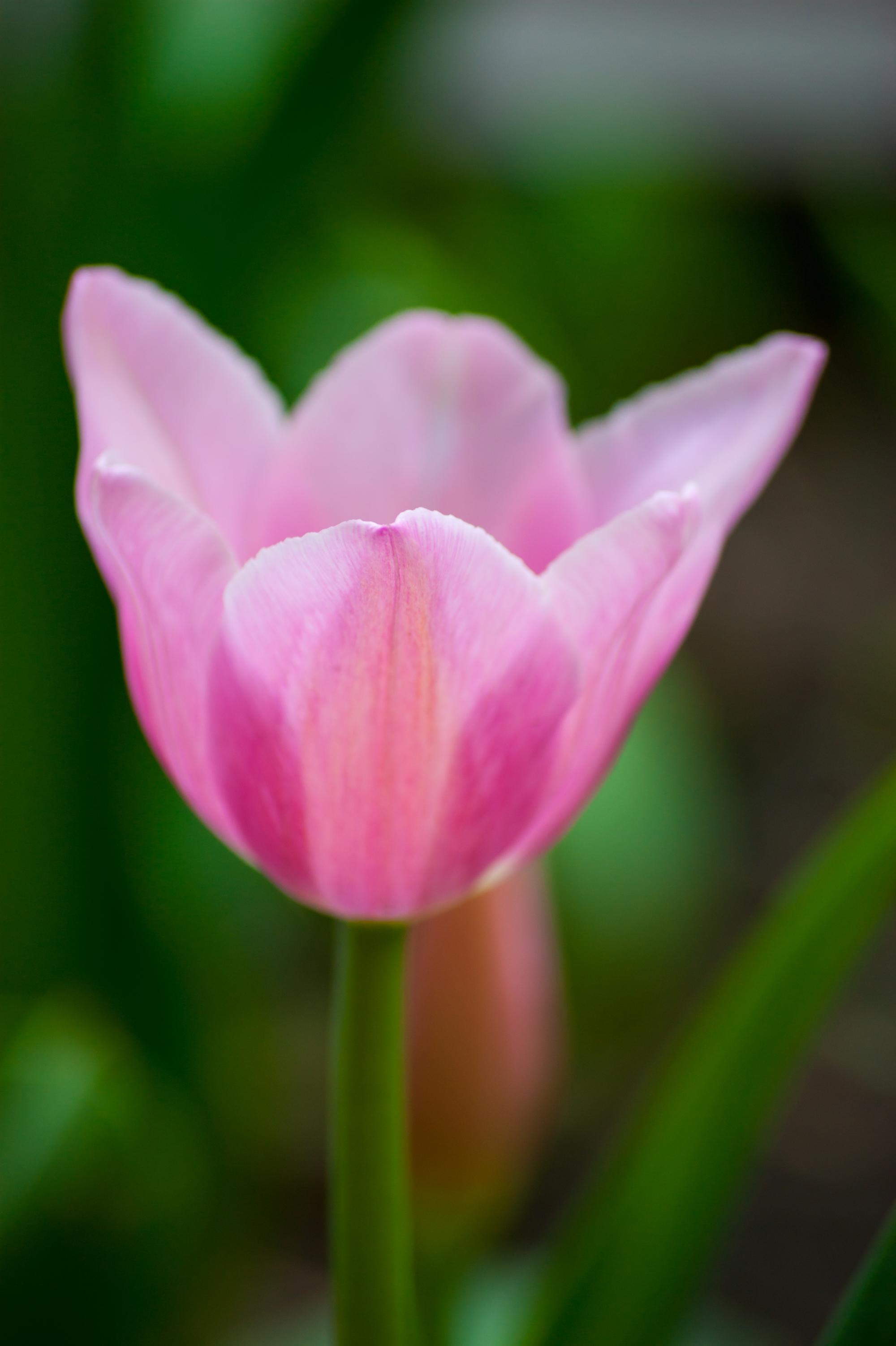 粉红色的郁金香