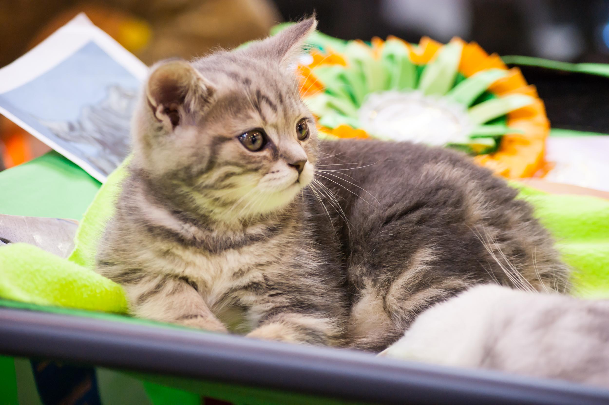 Котенок на выставке