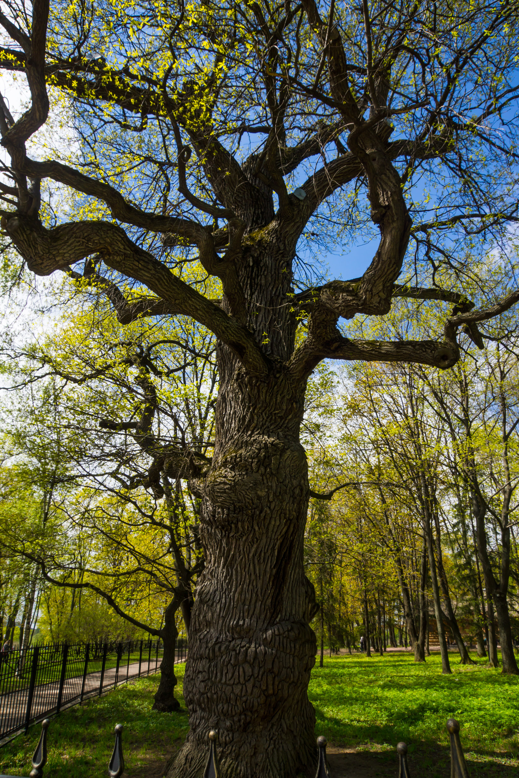дуб в дубовой роще