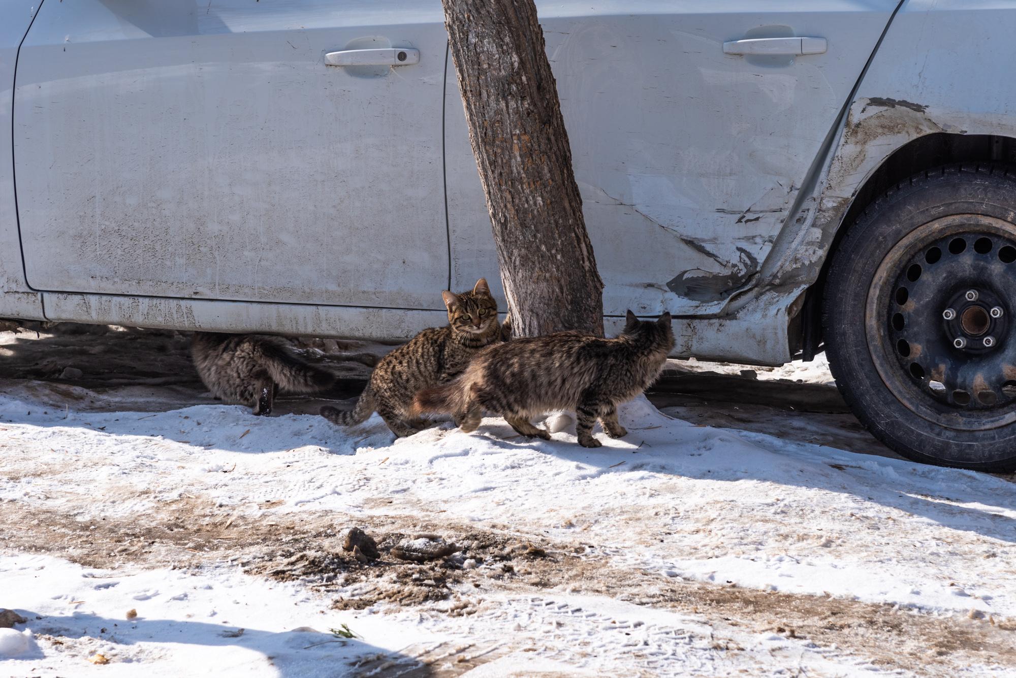 кошки возле машины