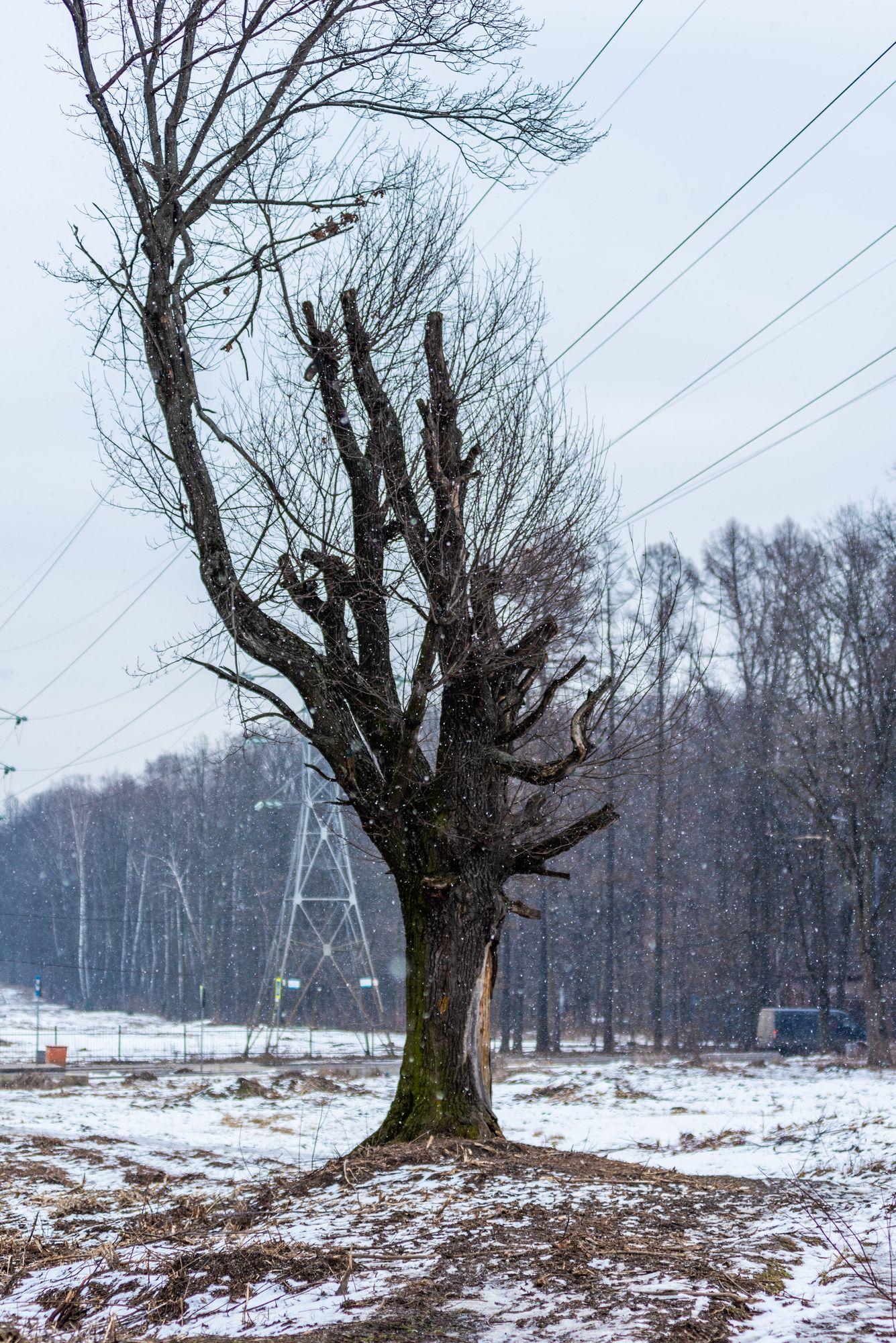 Дерево под линией электропередач